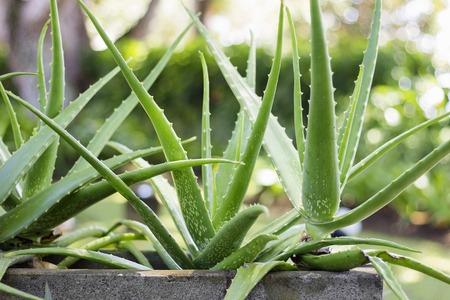 Herbal Medicine: Aloe