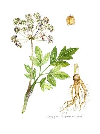 Herbal Medicine: Angelica