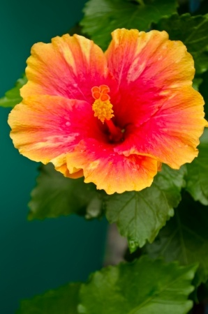 Herbal Medicine: Chinese hibiscus
