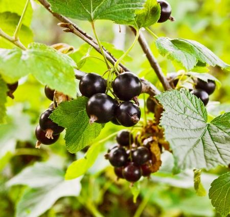 Herbal Medicine: Currant