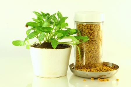 Herbal Medicine: Fenugreek