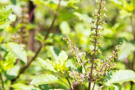 Herbal Medicine: Holy basil