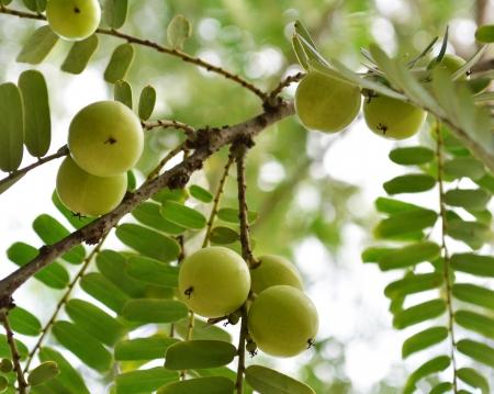 Herbal Medicine: Indian Gooseberry