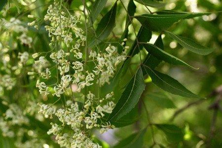 Herbal Medicine: Neem