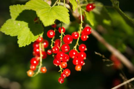 Herbal Medicine: Red current