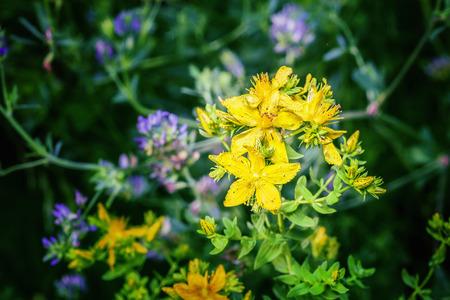 Herbal Medicine: St. John's Wort