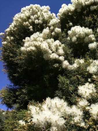Herbal Medicine: Tea Tree