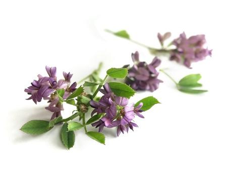 Herbal Medicine: Alfalfa