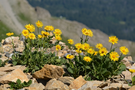 Herbal Medicine: Arnica
