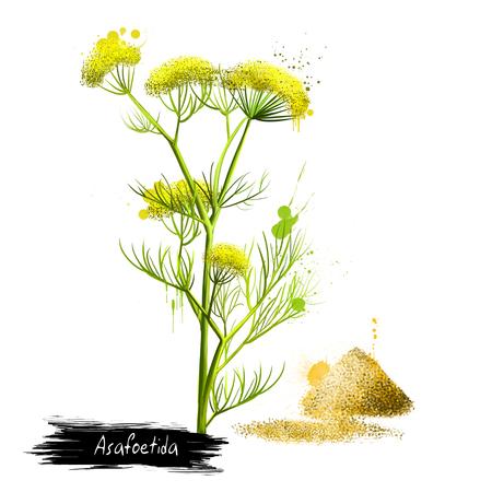 Herbal Medicine: Asafoetida