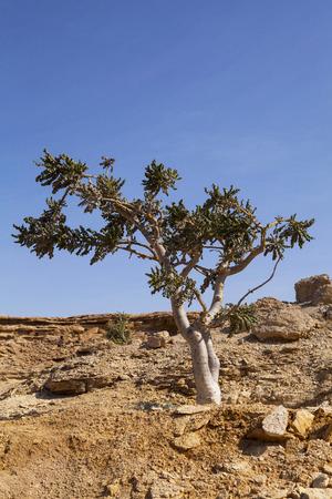 Herbal Medicine: Boswellia