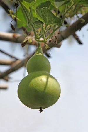 Herbal Medicine: Bottle gourd