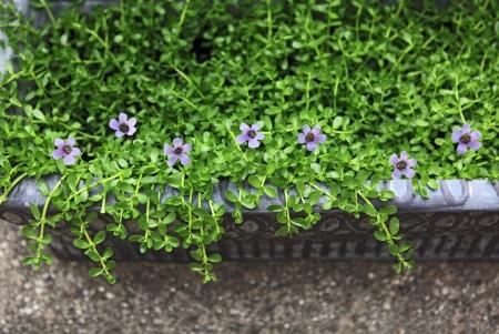 Herbal Medicine: Brahmi