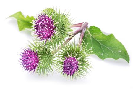 Herbal Medicine: Burdock