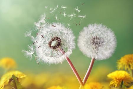 Herbal Medicine: Dandelion