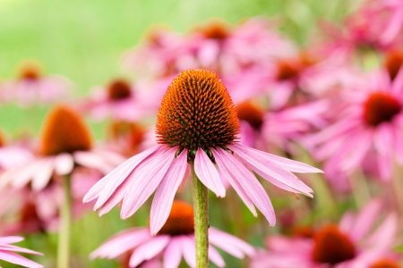 Herbal Medicine: Echinacea