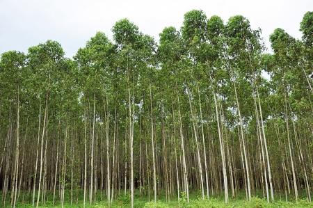 Herbal Medicine: Eucalyptus
