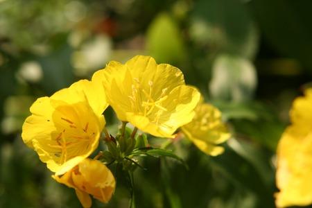 Herbal Medicine: Evening primrose