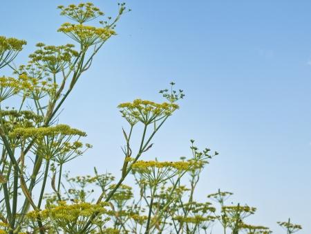 Herbal Medicine: Fennel