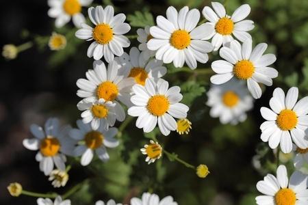 Herbal Medicine: Feverfew