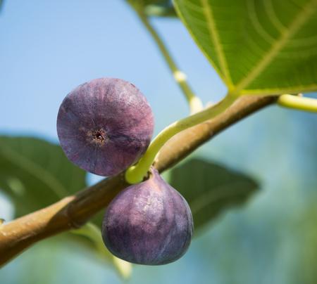 Herbal Medicine: Figs