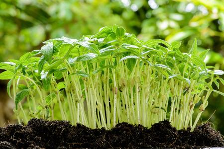 Herbal Medicine: Green gram