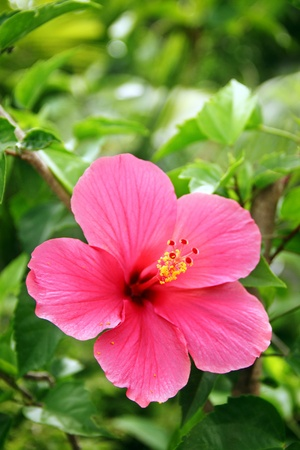 Herbal Medicine: Hibiscus