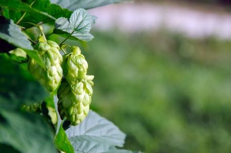 Herbal Medicine: Hops