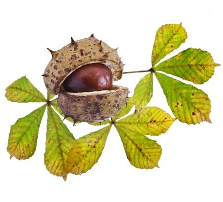 Herbal Medicine: Horse chestnut