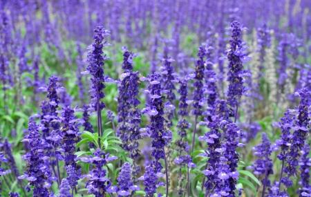 Herbal Medicine: Lavender