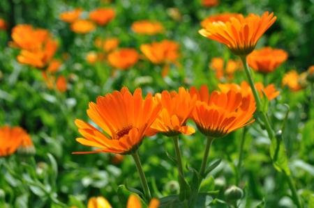 Herbal Medicine: Marigold