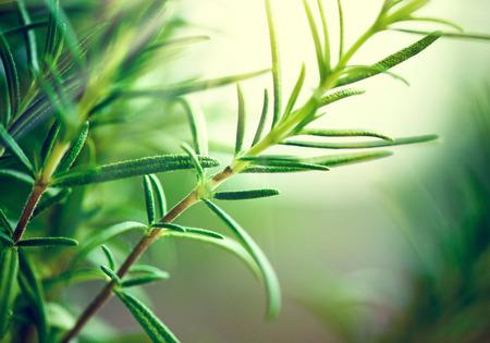 Herbal Medicine: Rosemary