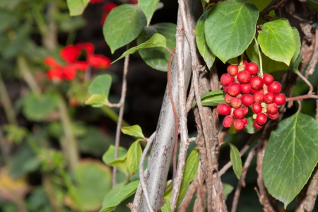 Herbal Medicine: Schisandra